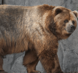 Difference between Brown Bear and Grizzly Bear