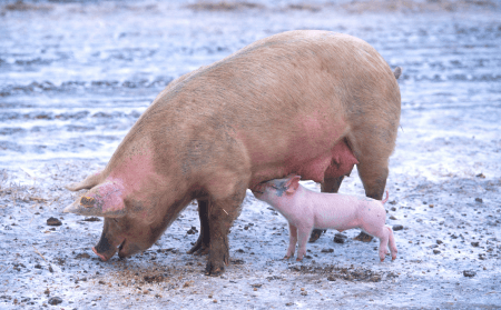 sow with its piglet