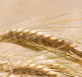 Difference between Barley and Wheat