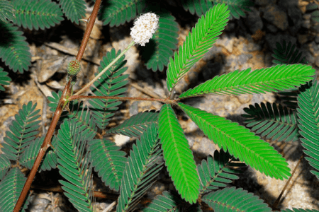 mimosa pudica plant
