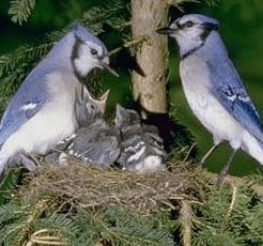 Difference between Male and Female Blue Jays