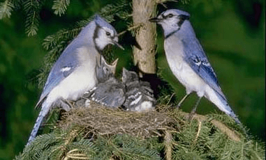family of blue jays