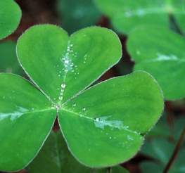 Difference between Shamrock and Clover