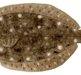Difference between a Fluke and a Flounder