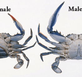 Difference between Male and Female Blue Crabs