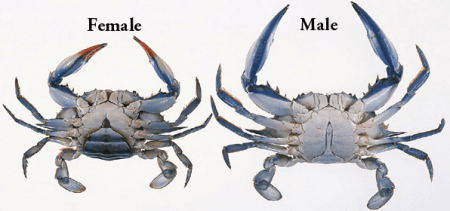 Male and female blue crabs
