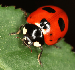 Difference between a Ladybug and an Asian Beetle