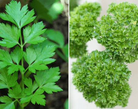Flat leaf parsley and curly parsley