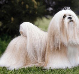 Difference between a Shih Tzu and Lhasa Apso