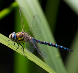 Difference between a Dragonfly and a Damselfly