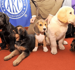Difference between the AKC and the CKC
