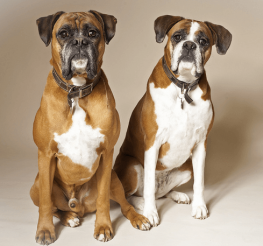 Difference between Male and Female Dogs