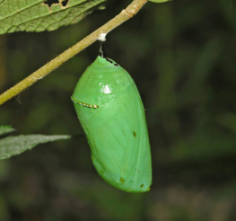 Difference between a Chrysalis and a Cocoon