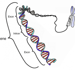 Difference between a Gene and a Chromosome