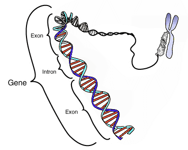 gene in relation to a chromosome