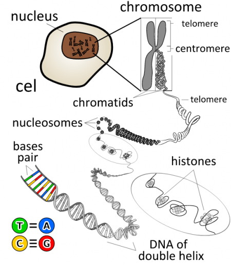 diagram of what a chromosome is made of