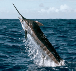 Difference between a Marlin and a Swordfish