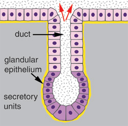 Diagram showing a basic secretion process