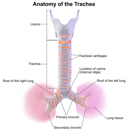 representation of the trachea