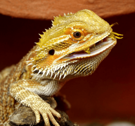 Difference between a Male and a Female Bearded Dragon