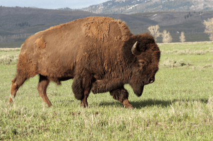 Bison vs Buffalo Meat - Difference