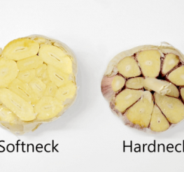 Difference between Hardneck and Softneck Garlic