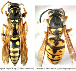 Difference between a Yellow Jacket and a Paper Wasp