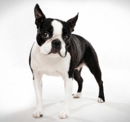 Difference between the Boston Terrier and the French Bulldog