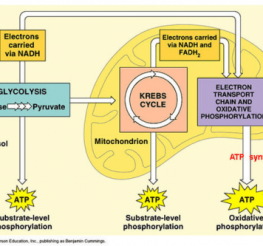 Difference between Aerobic and Anaerobic Respiration