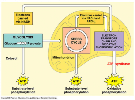 how aerobic respiration works