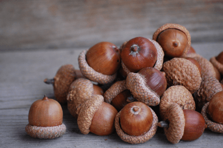 Acorns are examples of nuts