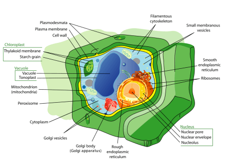 cross-section of a plant cell