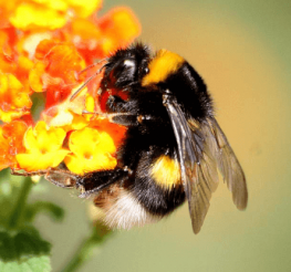 Difference between a Bumblebee and a Carpenter Bee