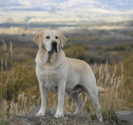 Difference between English and American Labradors