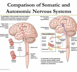 Difference between the Somatic and the Autonomic Nervous System
