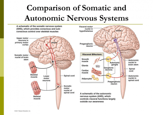 Comparison of two nervous systems