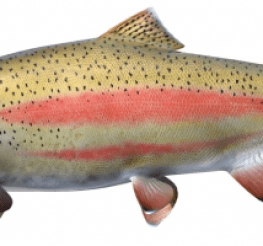 Difference between the Steelhead and the Rainbow Trout