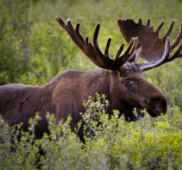 Difference between Moose, Elk, Caribou, and Reindeer