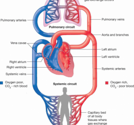 Difference between Pulmonary and Systemic Circulation