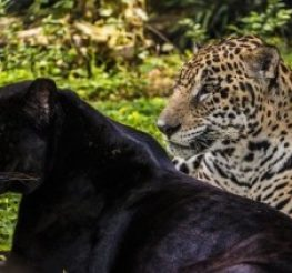 Difference Between Panther and Jaguar