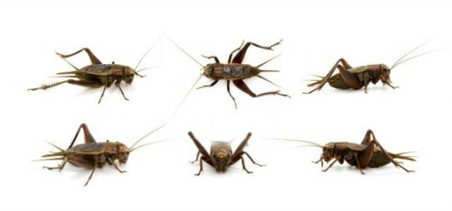 Difference between Black and Brown Crickets
