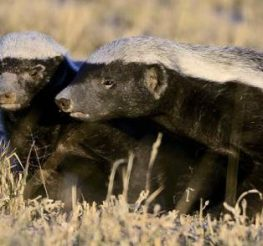 Difference Between Badger and Wolverine