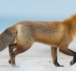 Difference Between Coyotes and Foxes