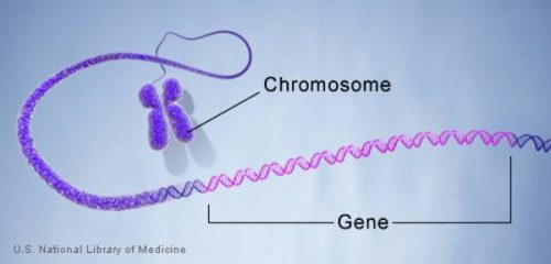 Difference Between Gene and Chromosome