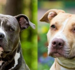 Difference Between Pitbulls and American Staffordshire Terriers