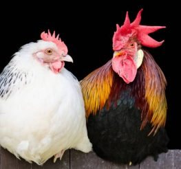 Difference Between a Rooster and a Chicken