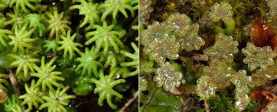 Difference Between Gametophytes and Sporophytes